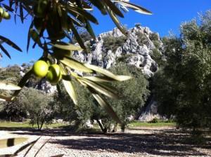 Campos de olivos con la sierra al fondo