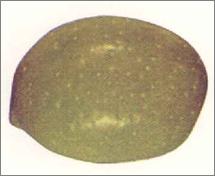 aspecto exterior de una aceituna